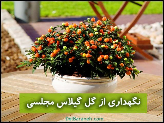 آموزش نگهداری از گل گیلاس مجلسی یا تاجزیزی