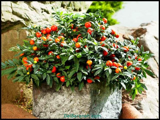 گل گیلاس مجلسی (۲)