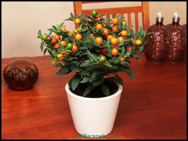 گل گیلاس مجلسی (۳)