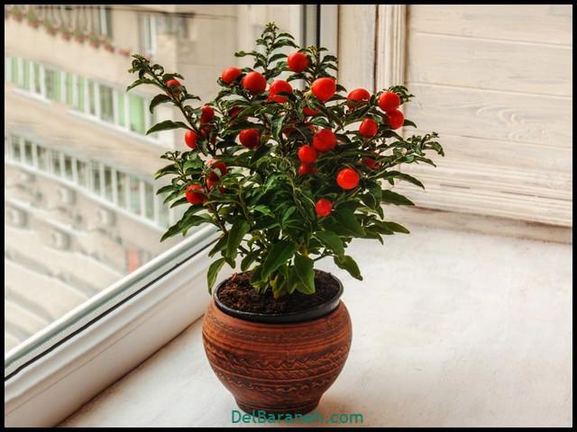 گل تاجزیزی زینتی