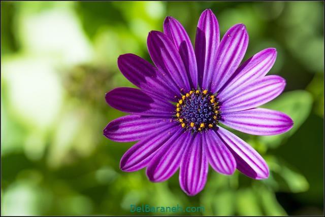 عکس گل برای پروفایل خاص