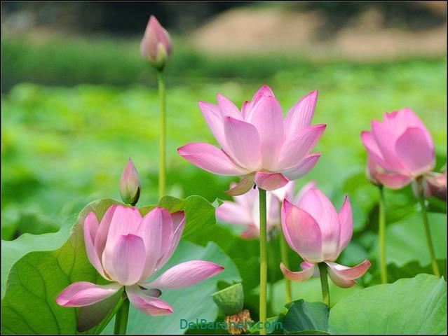 عکس گل رمانتیک