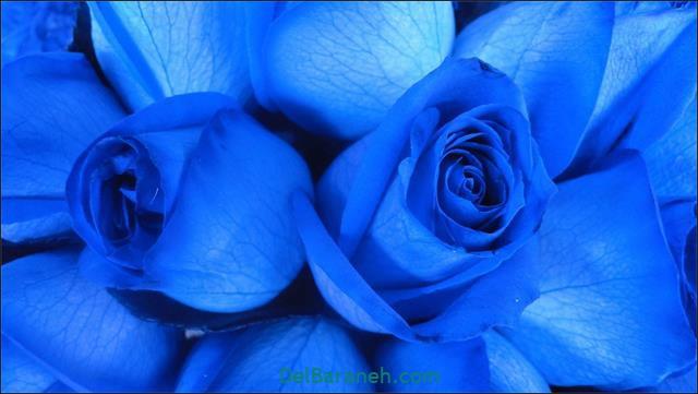 عکس پروفایل گل رز قرمز