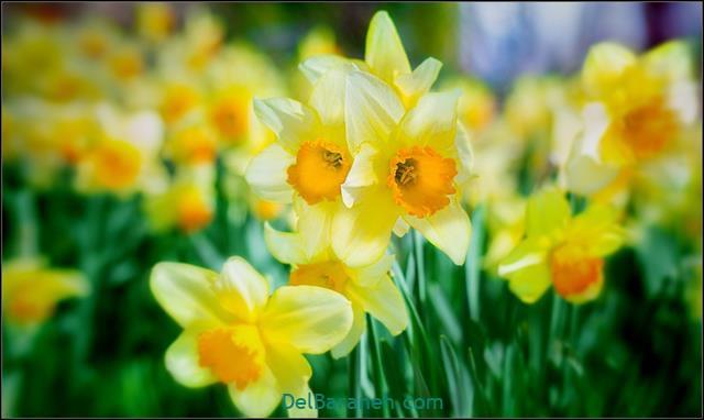 عکس پروفایل خاص گل
