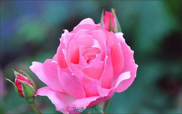 Flower profile photo (69)
