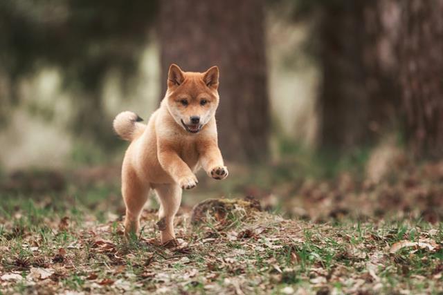 عکس سگ های پشمالو